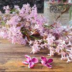 vom Garten ins Glas – zauberhafter Fliedersirup